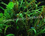 Аквариумное растение Гигрофила пиннатефида